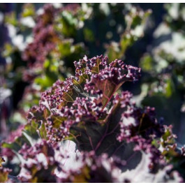 Col Kale Vermella ECO de Rupià