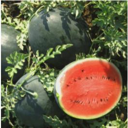 Sindria pota negra ECO mitja 2-3kg Rupià