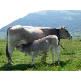 Culata espatlla (bistec) ECO de vedella